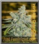 Incredible Bulk x Green Crack Single Cannabis Seeds Discounted